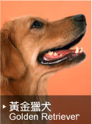 黃金獵犬Golden Retriever