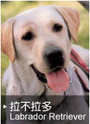 拉不拉多(Labrador Retriever)